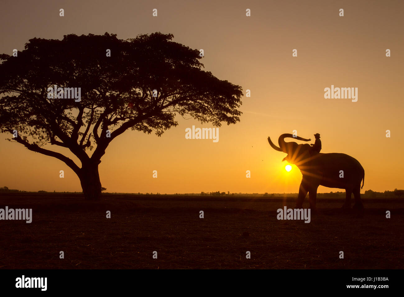 Silhouette tree animal elephant and mahout man  Sunrise background at Thailand morning time. - Stock Image