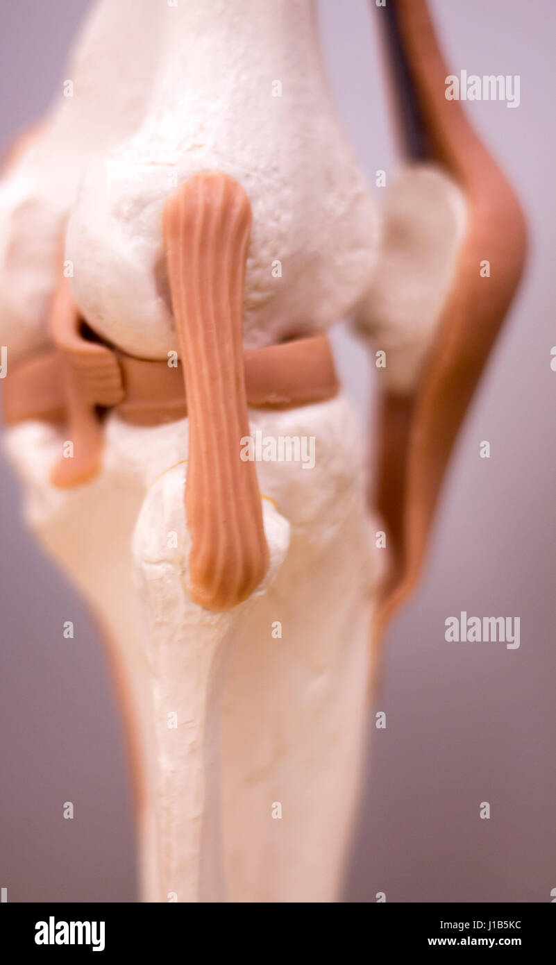 Knee And Meniscus Medical Study Student Anatomy Model Showing Bones