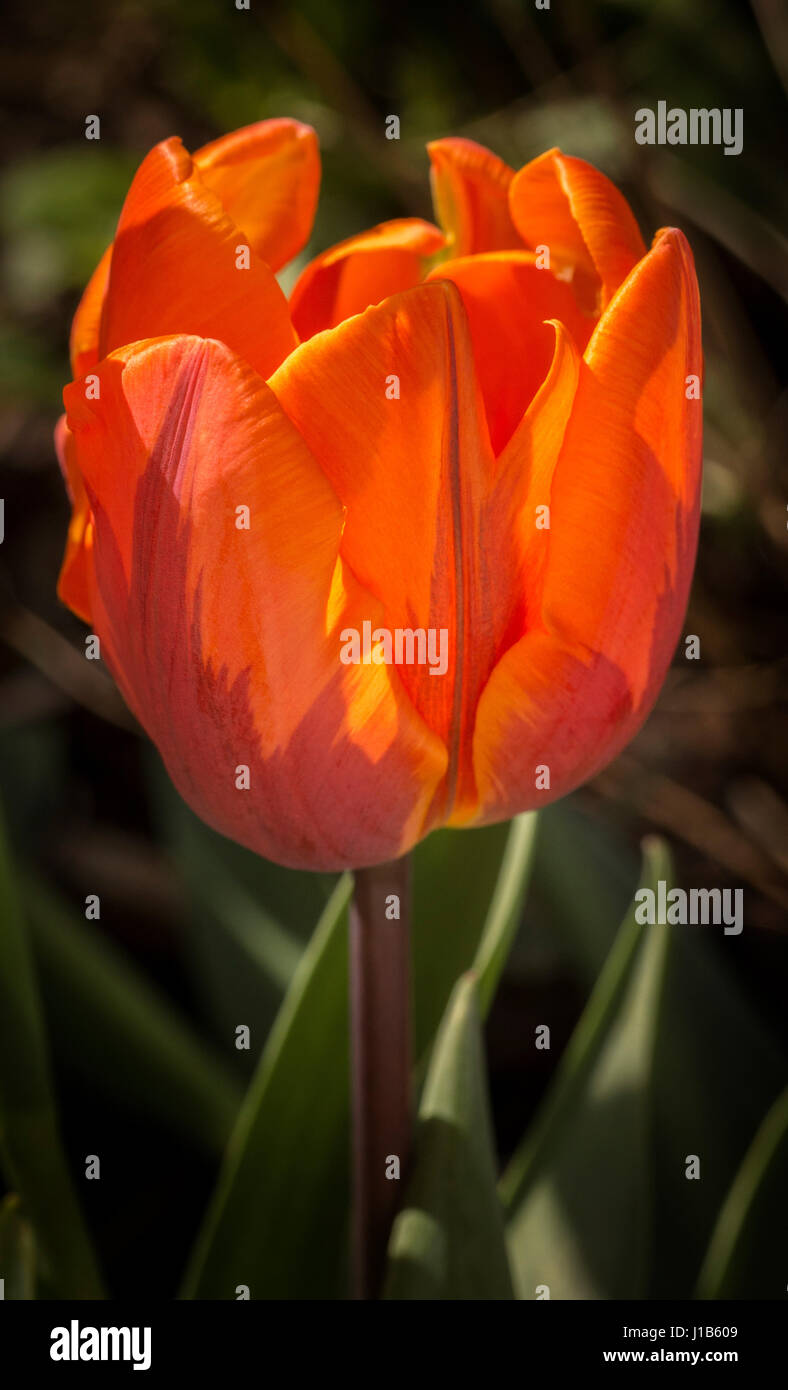 Side view of an orange Princess Irene tulip flower growing in a garden. - Stock Image
