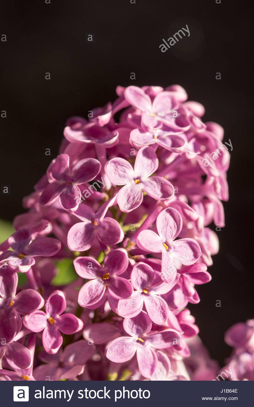 Purple lilac flower on the sunny brightness. - Stock Image