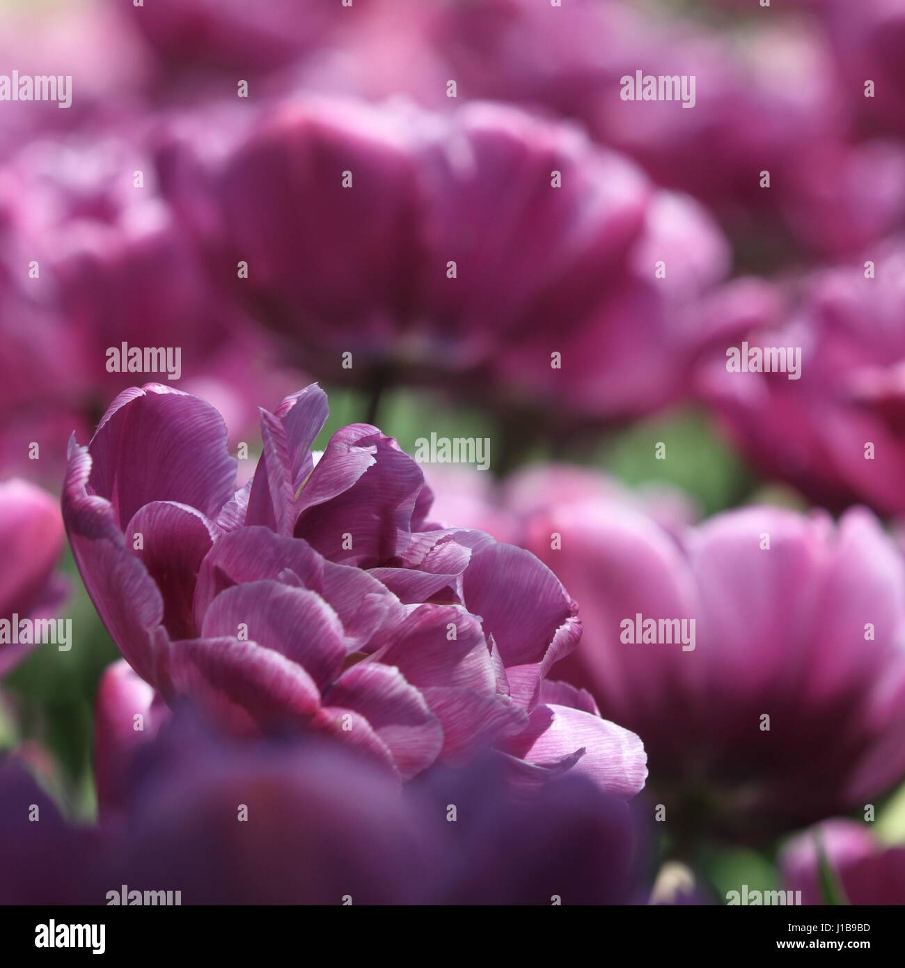 Purple mood - Stock Image