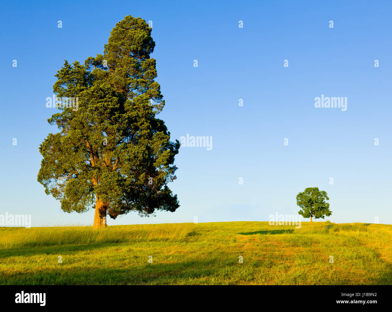 Large pine type tree with another smaller tree on horizon in meadow or field - protection or competition or big - Stock Image