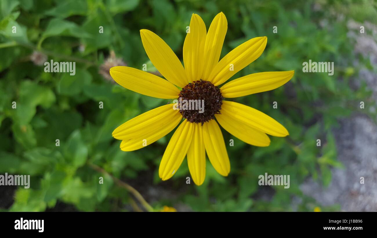 Daisy Like Flower Yellow And Brown Stunning Stock Photo 138547954