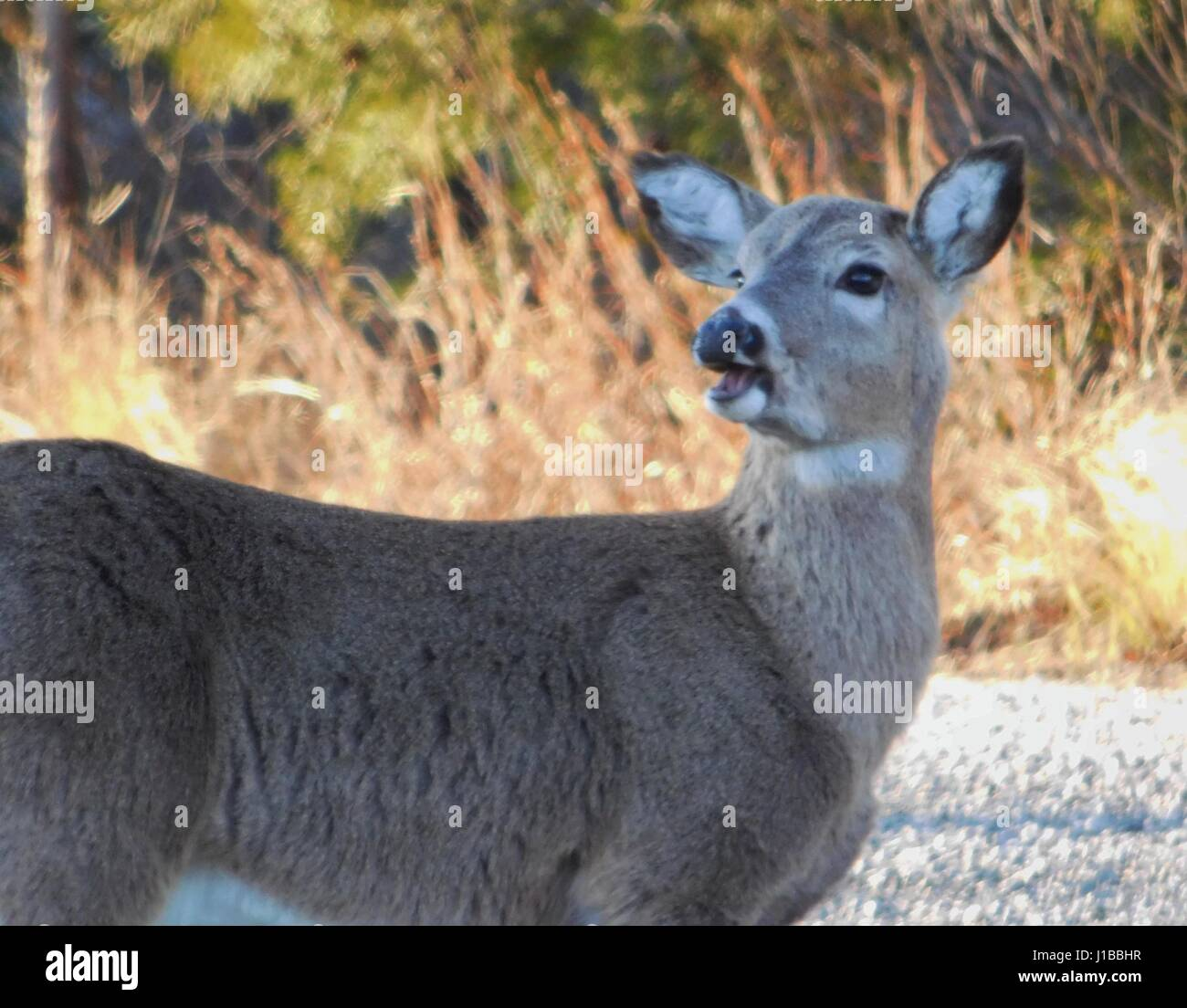 The Doe Has Something to say - Stock Image