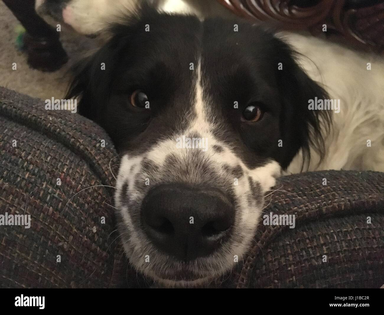 Freckled pup - Stock Image