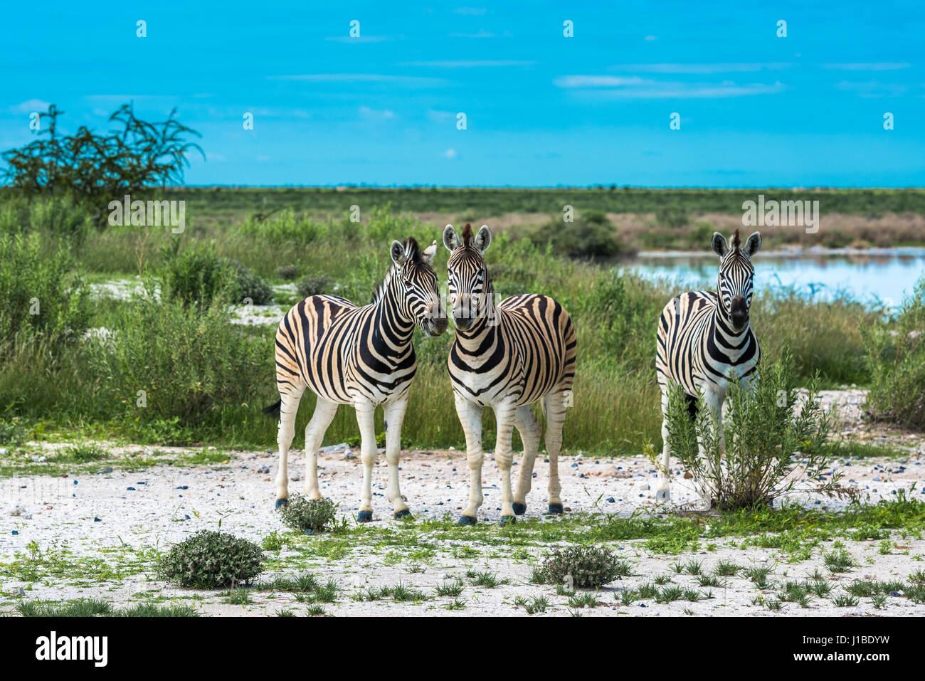 Zebras in Etosha national park, Namibia - Stock Image