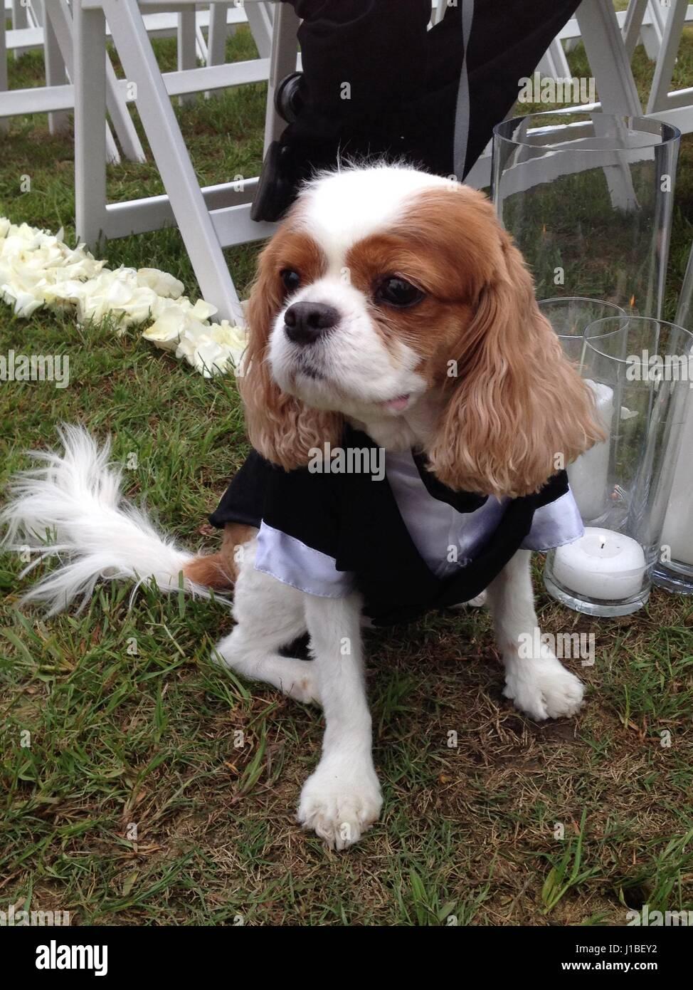 Wedding dog - Stock Image