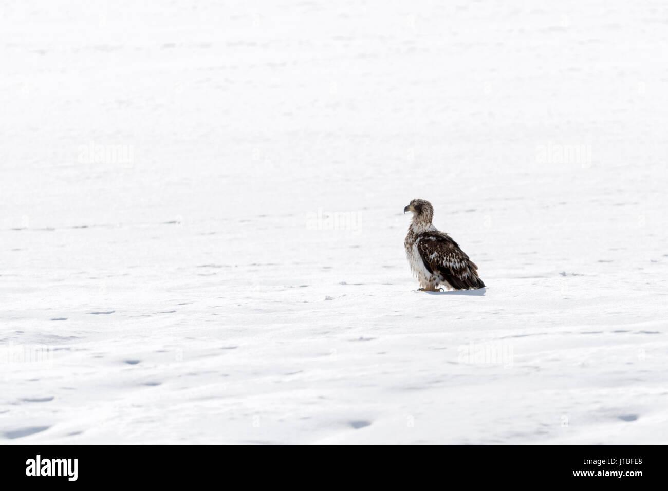 Bald Eagle / Weisskopfseeadler ( Haliaeetus leucocephalus ), young bird, sitting on frozen, snow covered ground, Stock Photo