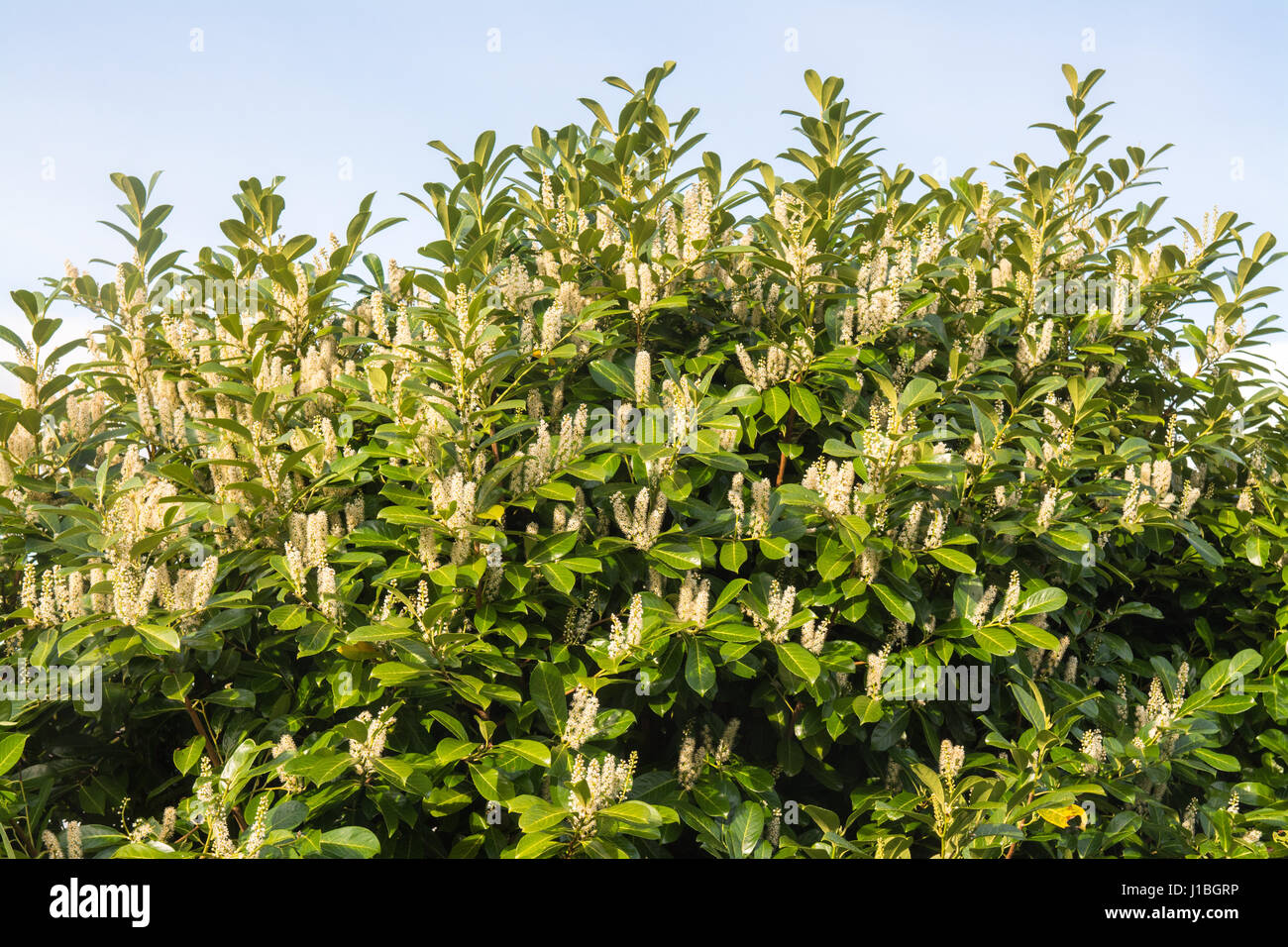 Cherry Laurel flowers in spring - Prunus Laurocerasus flowers - Stock Image