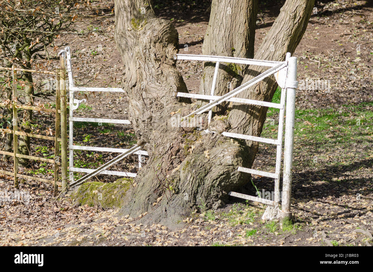 Old white metal gate with tree grown around it - Stock Image
