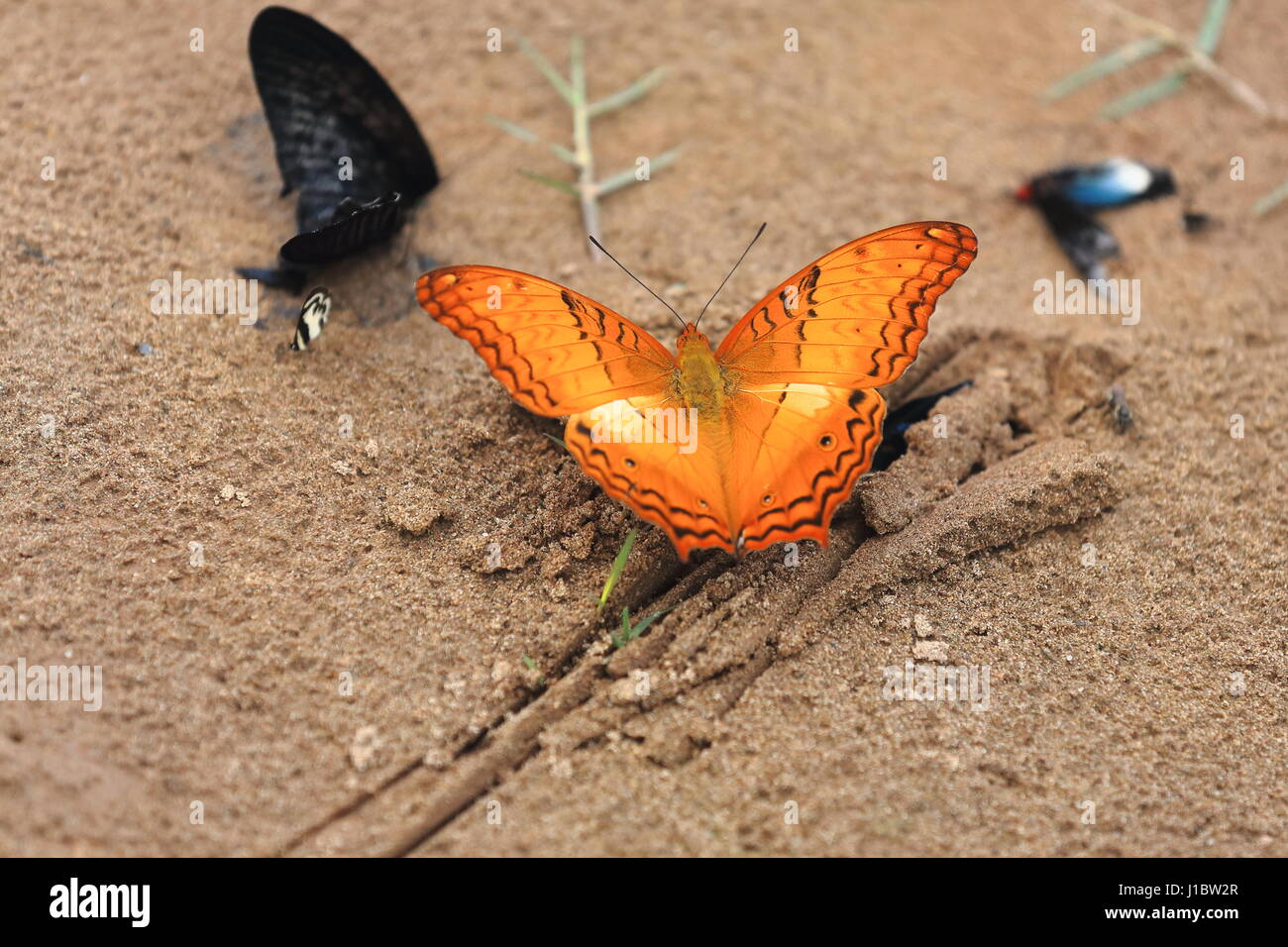 Vindula Erota-Common Cruiser butterfly on the sand of the east-left bank of Nam Ou-Rice Bowl river. Sop Chem village - Stock Image