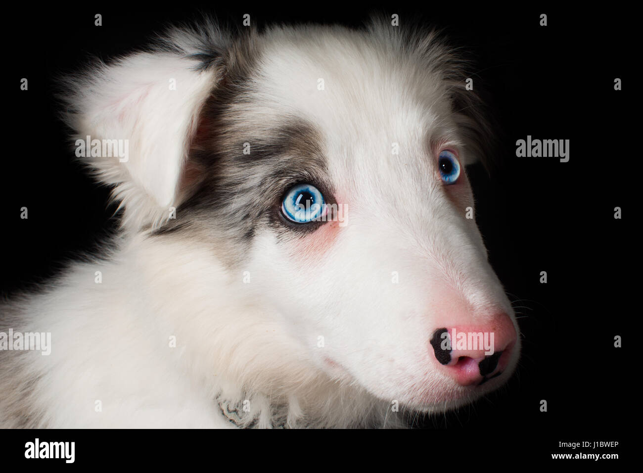 A beautiful blue merle border collie in the studio Stock Photo