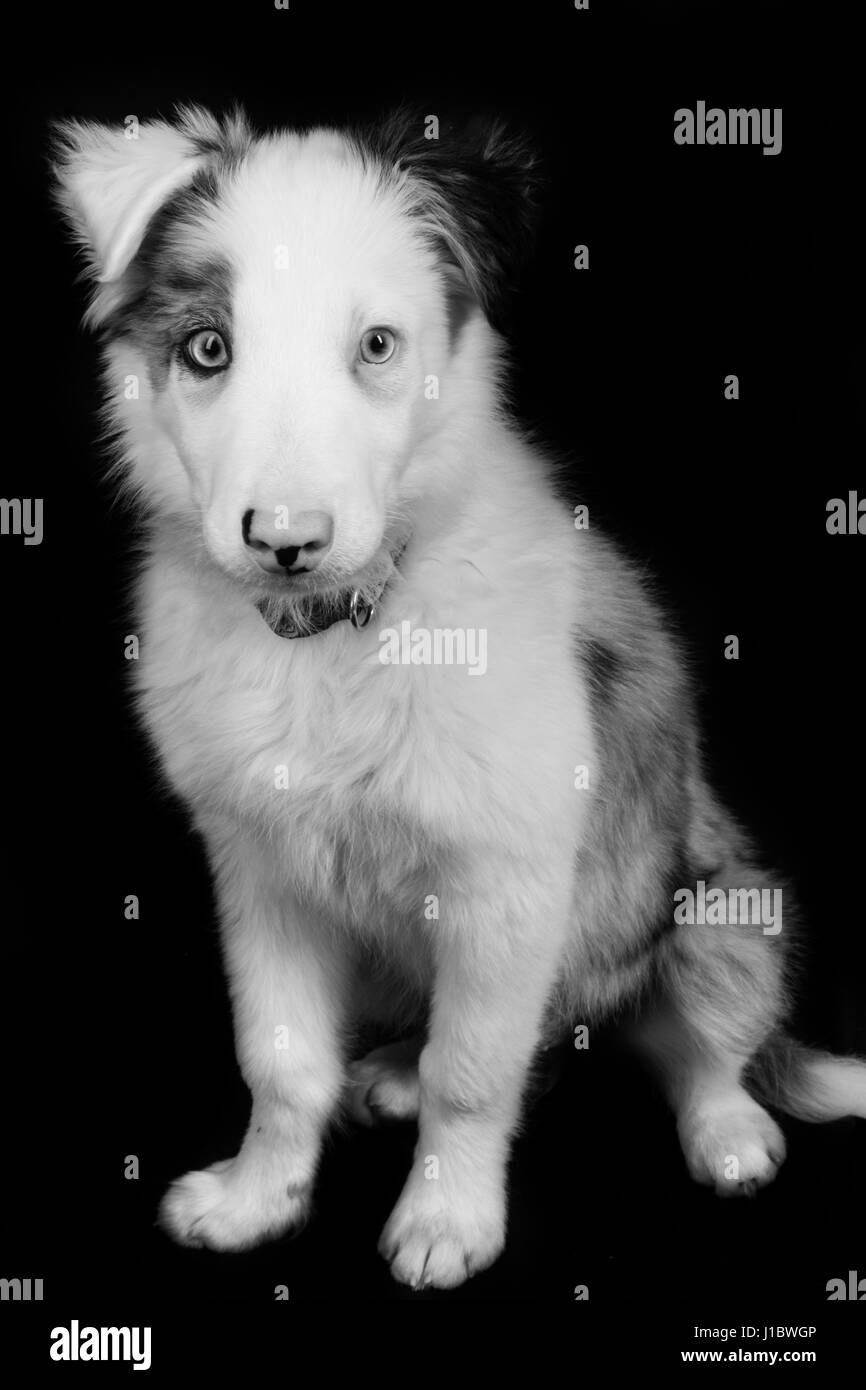 A beautiful blue merle border collie in the studio - Stock Image