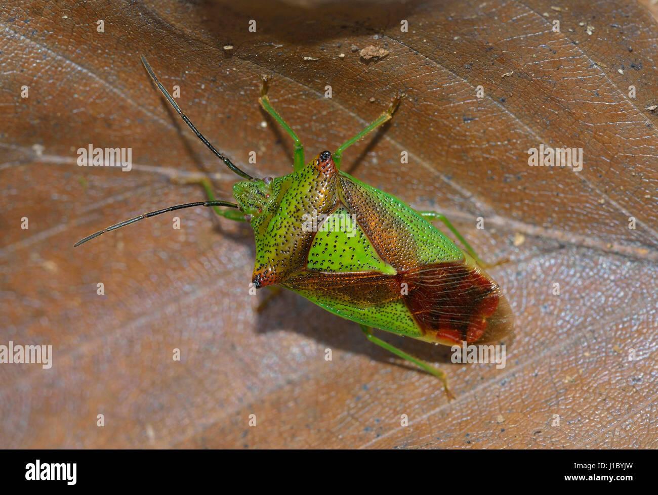 Hawthorn Shieldbug - Acanthosoma haemorrhoidale Adult on Beech Leaf Litter Stock Photo