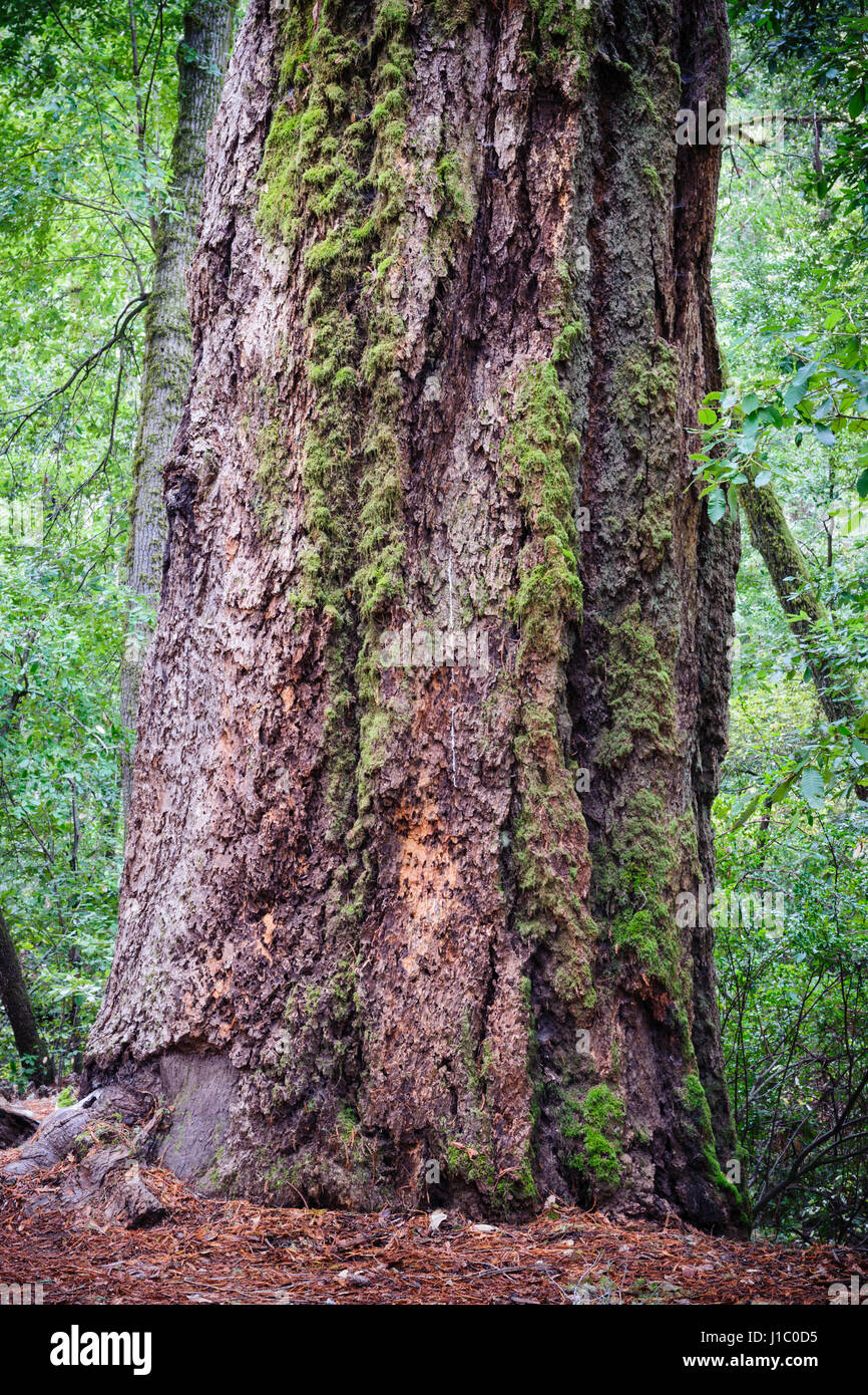 Giant sequoia, coast redwood, coastal redwood, California redwood, Sequoia sempervirens, mature tree trunk, Big - Stock Image