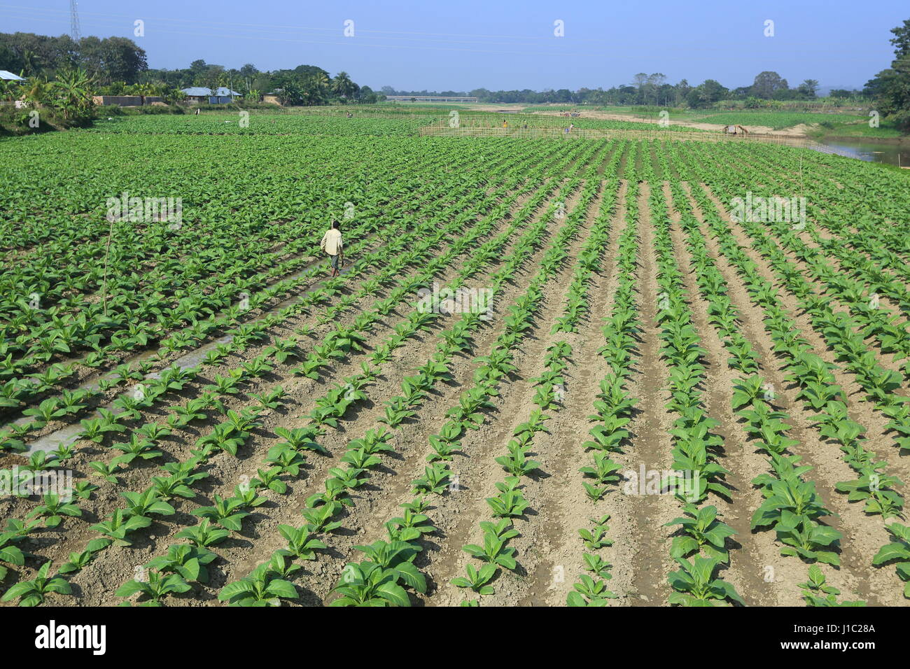 Tobacco plantation on a vast tract of land along the Maini river in Khagrachharhi's Dighinala. - Stock Image
