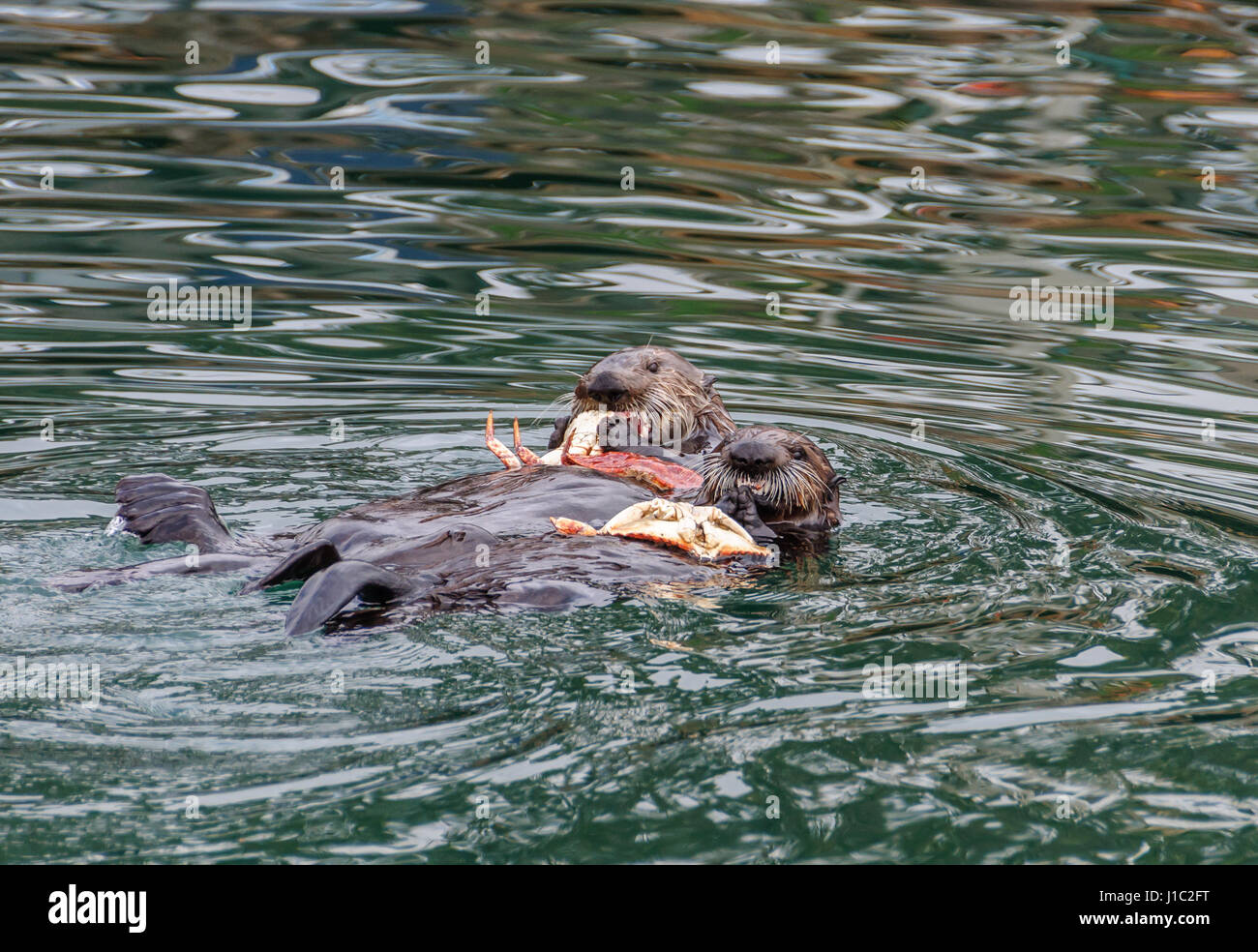A pair of sea otters floating on their backs in Morro Bay while eating crab, the crab shells resting on their chests - Stock Image