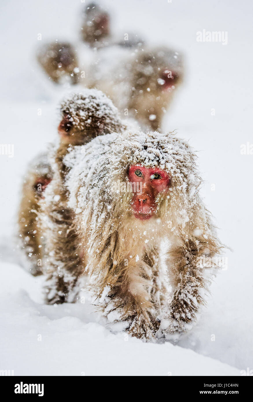 Group of Japanese macaques goes to the a hot spring in the deep snow. Japan. Nagano. Jigokudani Monkey Park. An - Stock Image