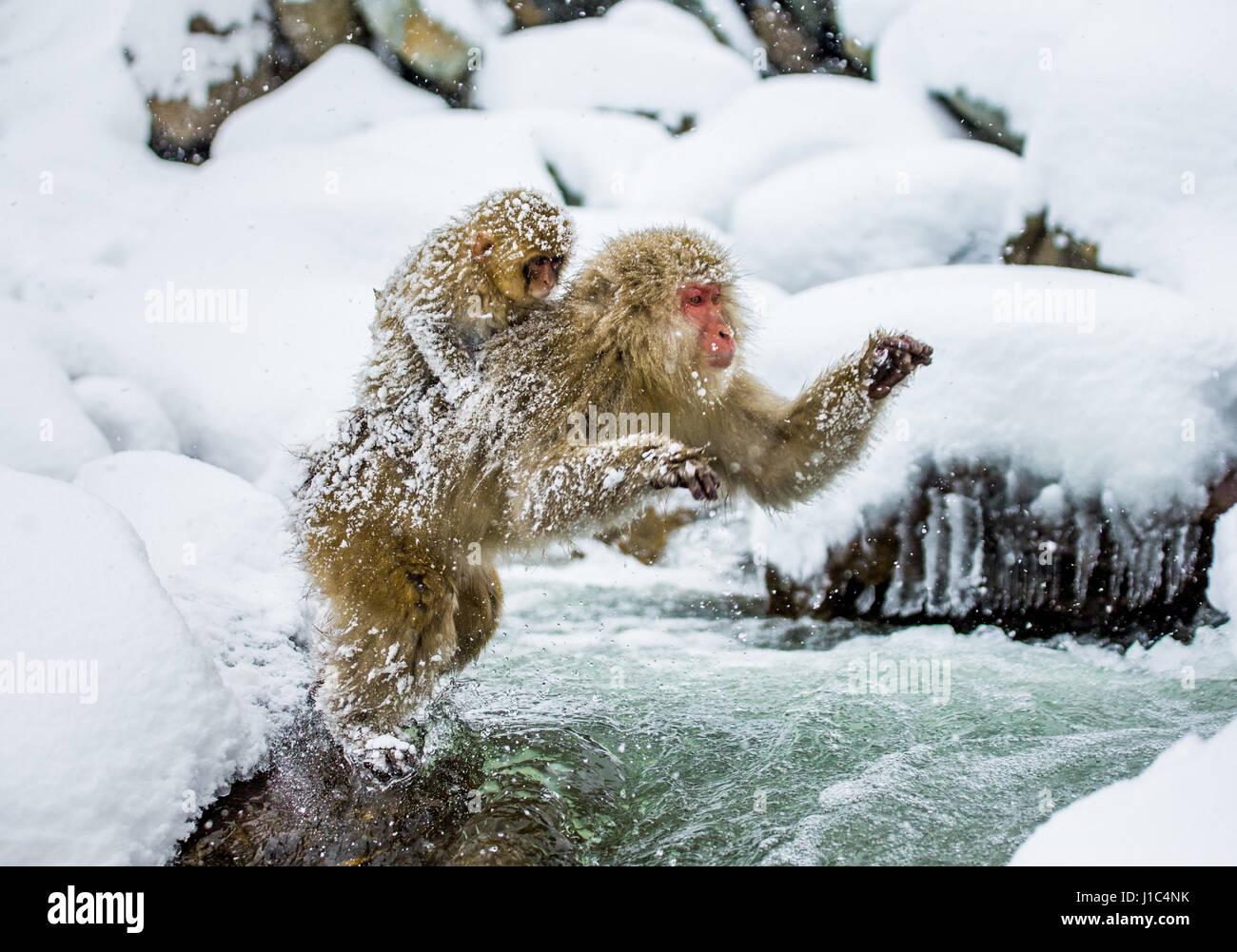 Japanese macaques jumping through a small river. Japan. Nagano. Jigokudani Monkey Park. An excellent illustration. - Stock Image
