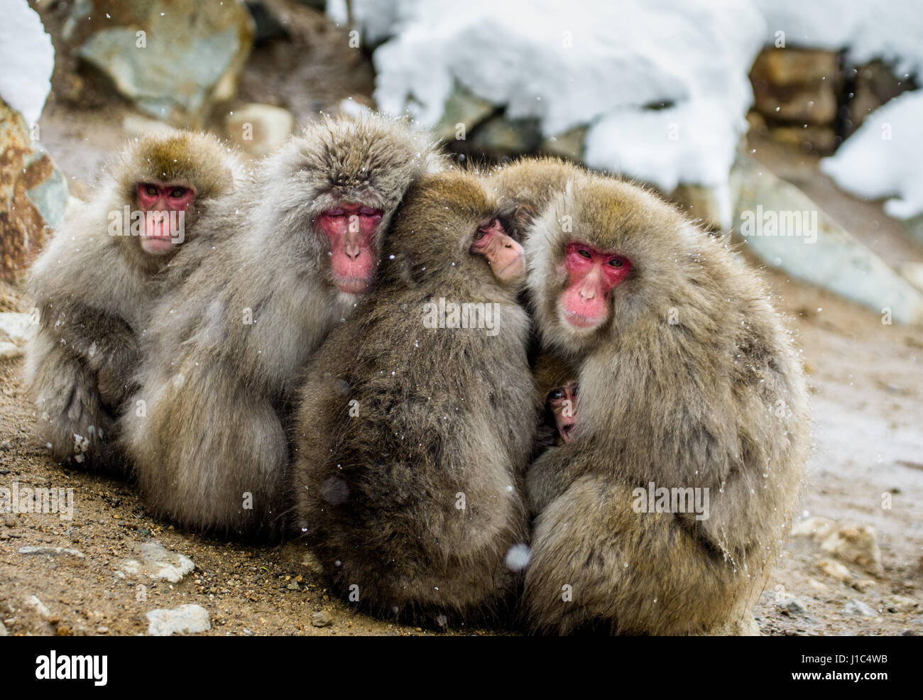 Group of Japanese macaques sitting together on the rocks. Japan. Nagano. Jigokudani Monkey Park. An excellent illustration. - Stock Image