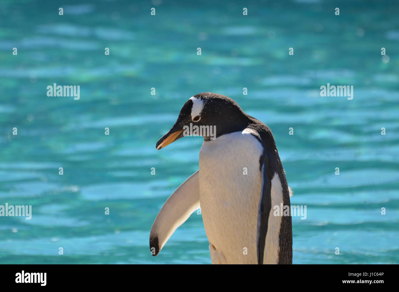 Adorable gentoo penguin standing at the edge of the water. - Stock Image