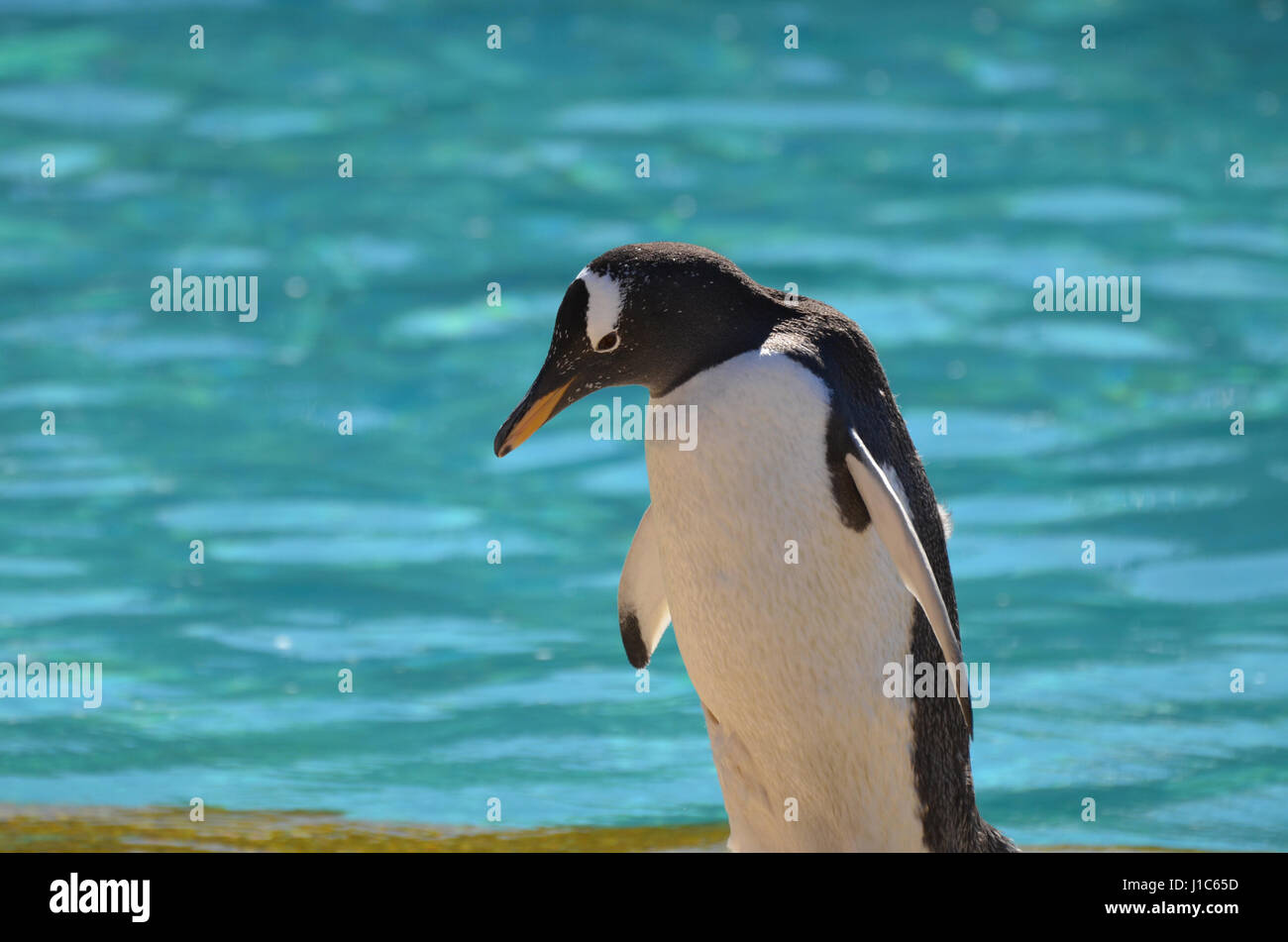 Cute gentoo penguin with water standing behind him. - Stock Image