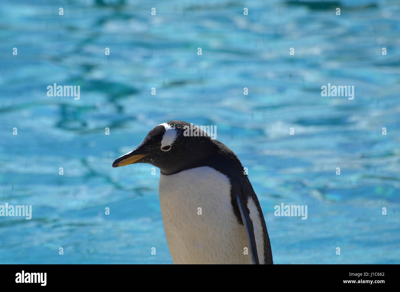A close-up look at a gentoo penguin. - Stock Image