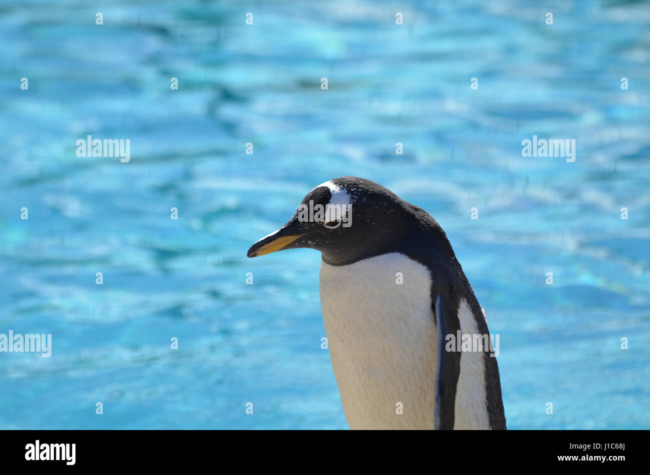 Great capture of a gentoo penguin standing in front of a body of water. - Stock Image