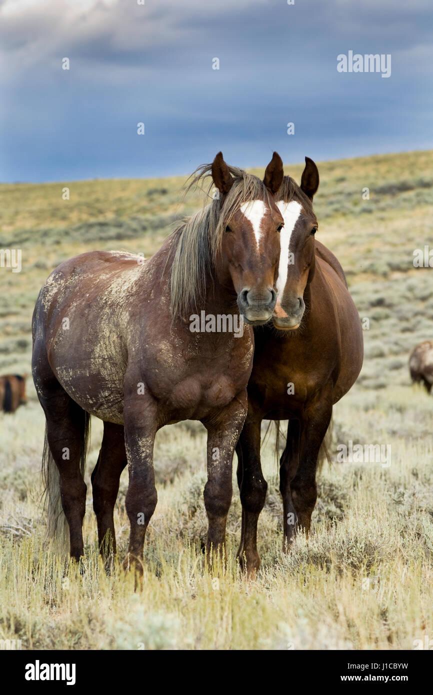 Mustangs (Equus ferus caballus), stallion and mare standing in prairie, Wyoming, USA - Stock Image