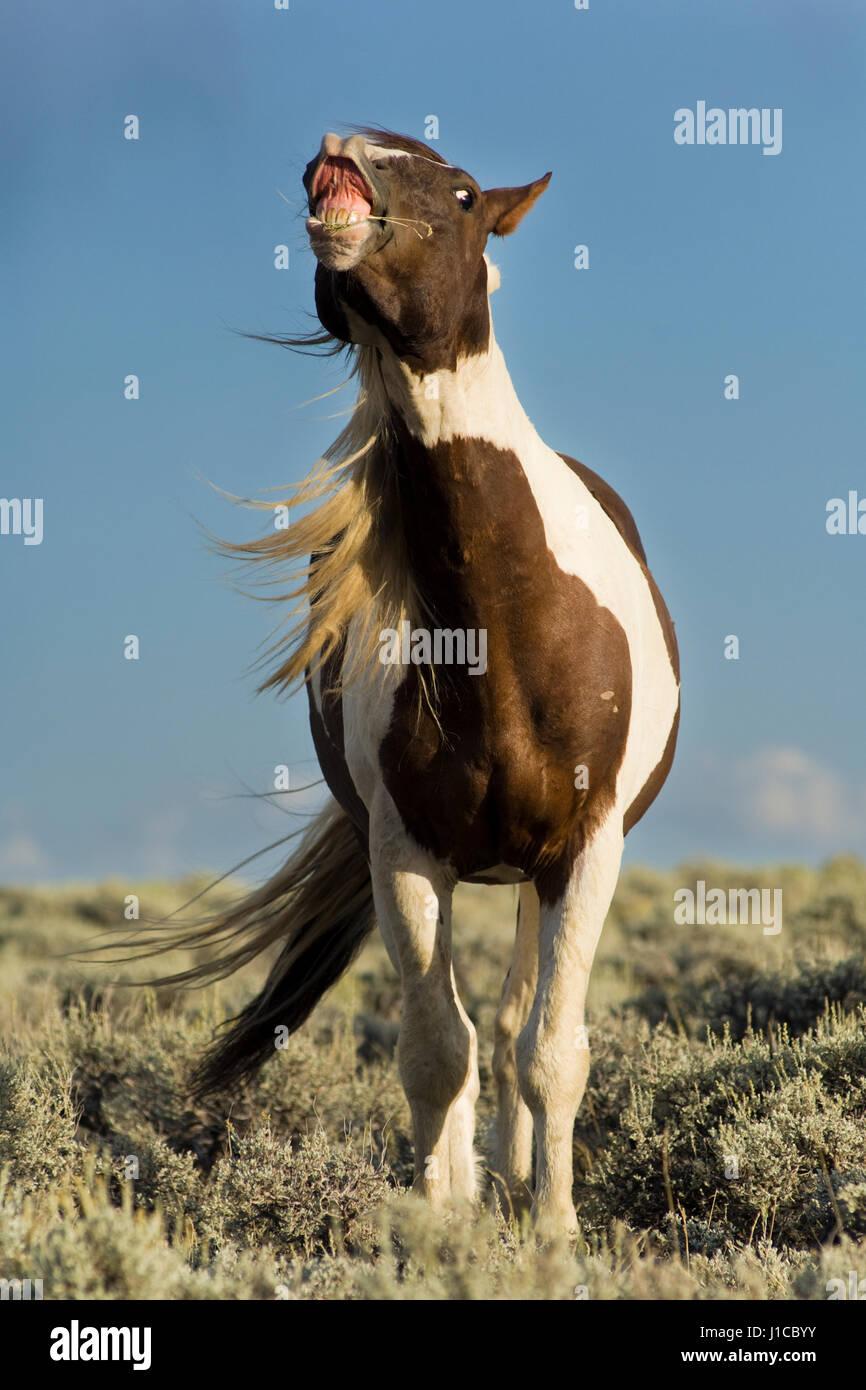 Mustang (Equus ferus caballus), stallion, piebald flehming in prairie, Wyoming, USA - Stock Image