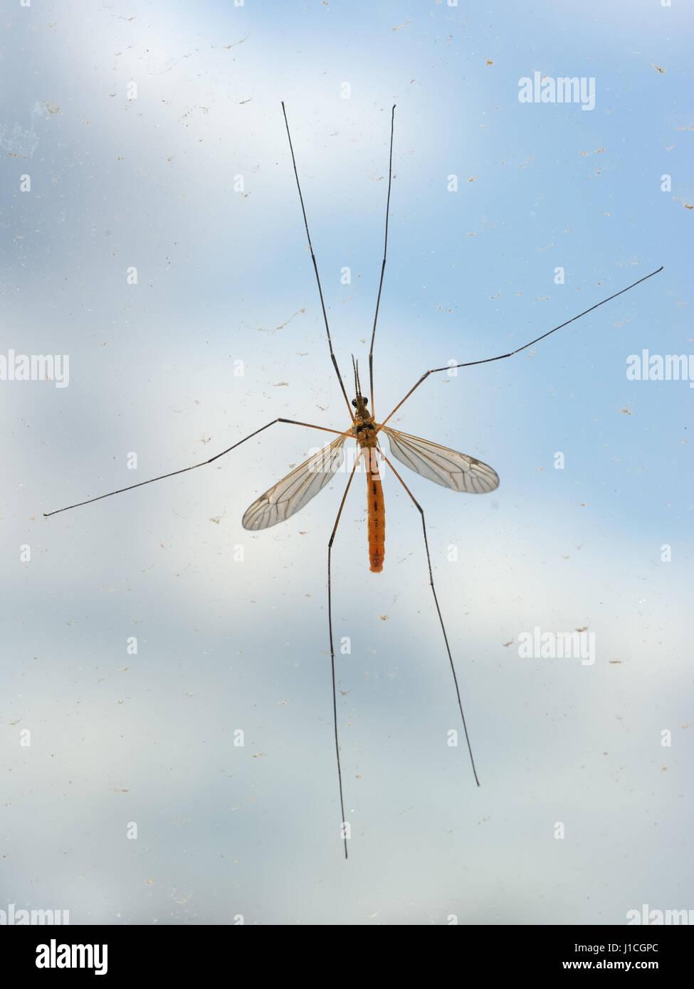 Mosquito bug on window - Stock Image