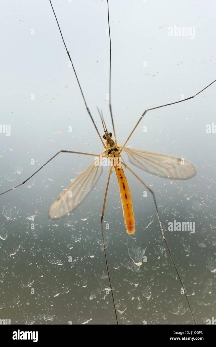 Mosquito bug on dirty window - Stock Image