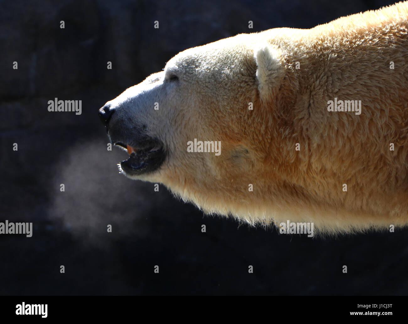 Polar bear Cincinnati Zoo with breath condensation Stock Photo