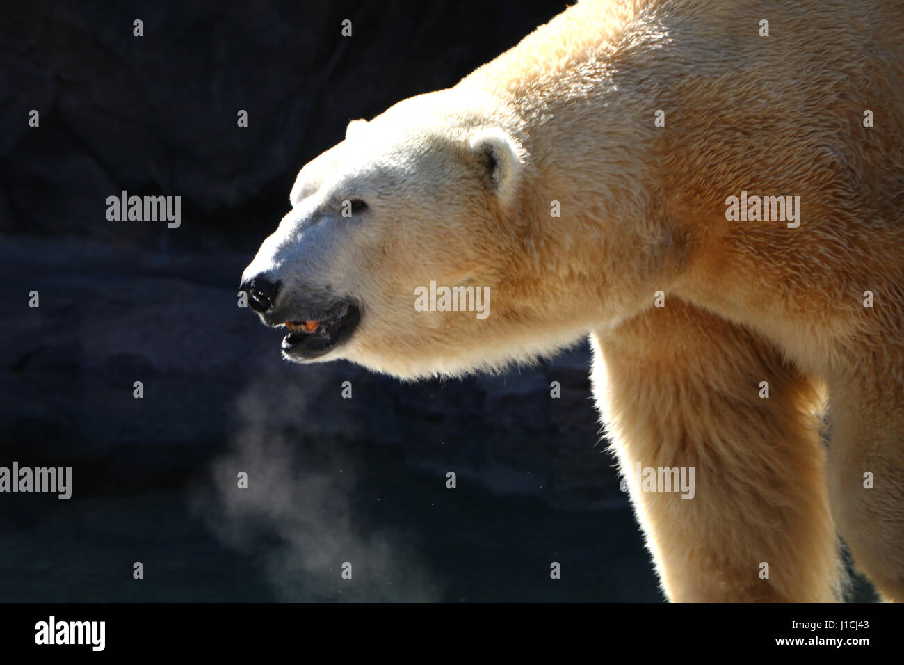 Polar bear Cincinnati Zoo with breath condensation Stock Photo