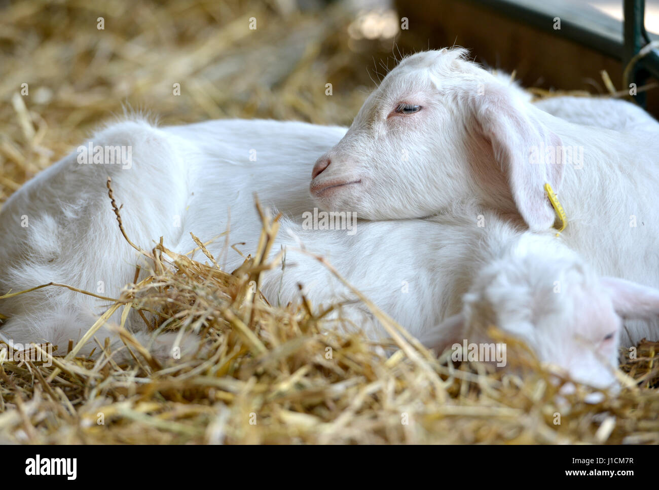 Baby goats sleeping close together - Stock Image