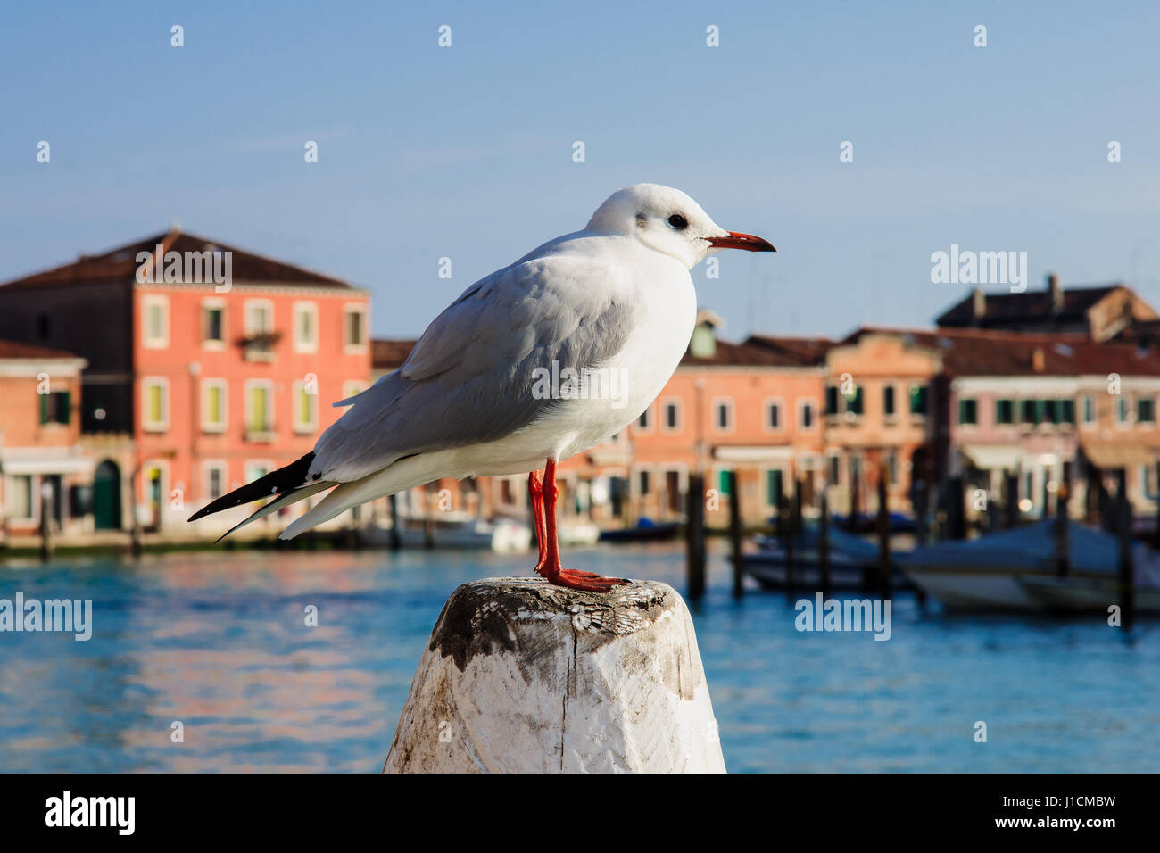 A seagull and a vaporetto (water bus) station, in Murano, Venice, Veneto, Italy - Stock Image