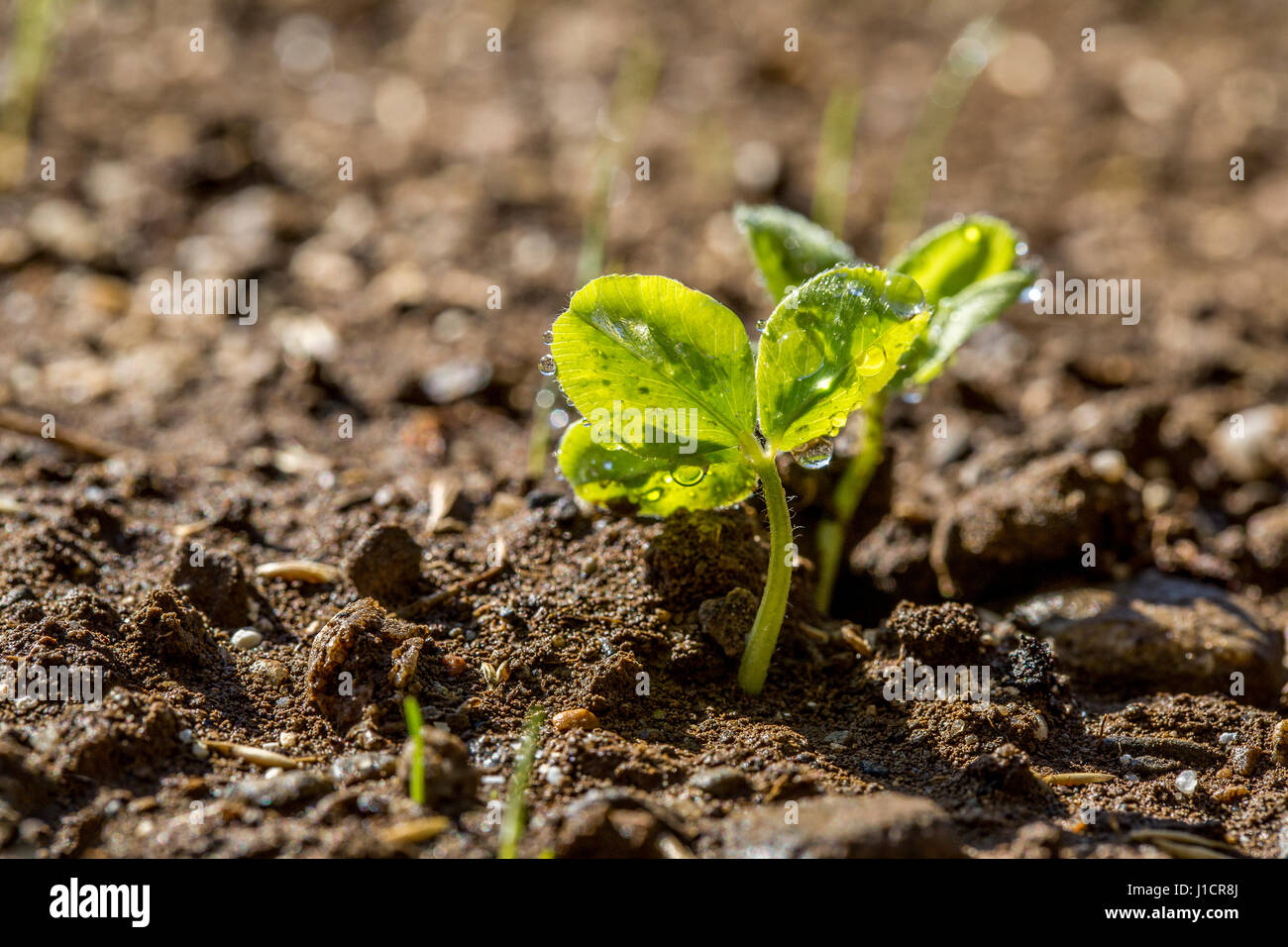 Clover Sprout Stock Photos & Clover Sprout Stock Images - Alamy