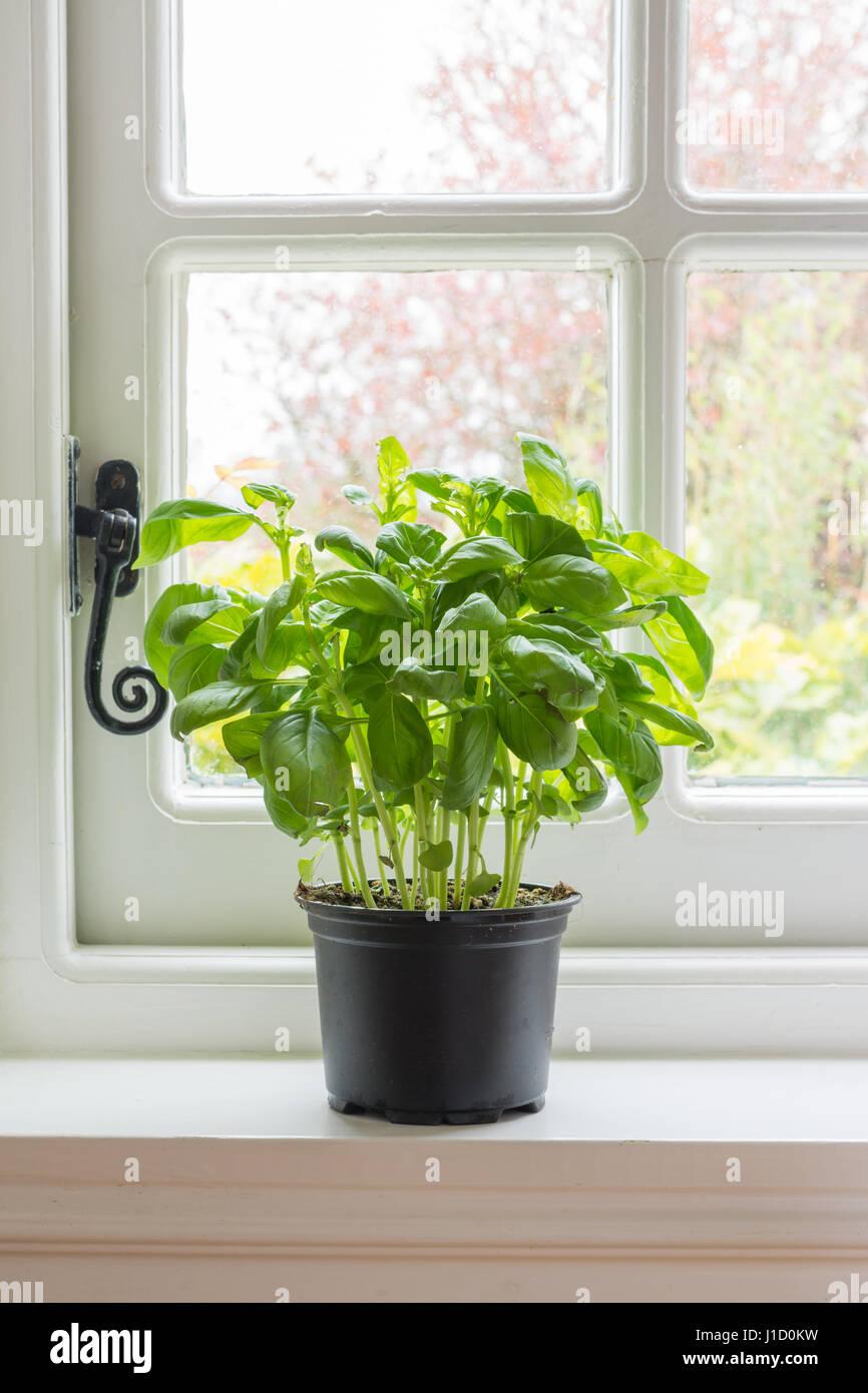 Basil plant pot on kitchen windowsill window sill - Stock Image