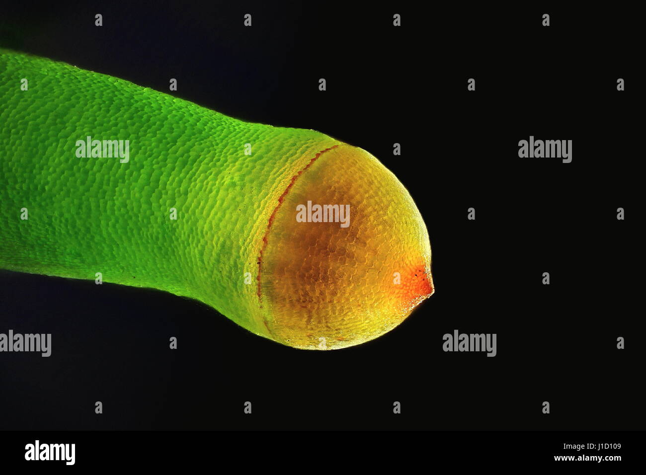 Spore capsule of Plagiomnium affine,  Many-fruited Thyme-moss, microscope image - Stock Image