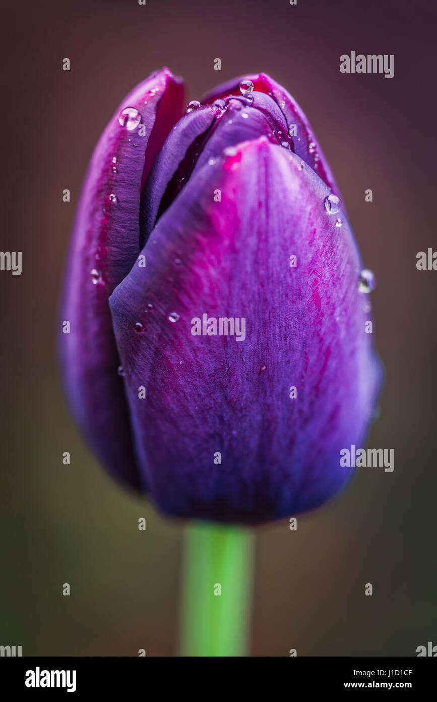 """Rain drops at a tulip named """"Queen of the Night"""". It's velvety, dark maroon, single, cup-shaped flower on straight Stock Photo"""