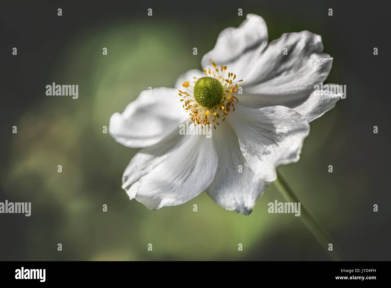 An isolated white Japanese Anemone with green and yellow blurred background. Also known as Chinese Anemone, Thimbleweed - Stock Image