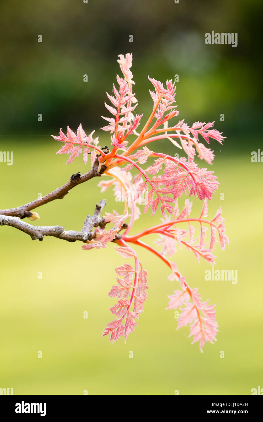 Feathery leaves stock photos feathery leaves stock images alamy pink spring foliage and stems of the selected form of the golden rain tree koelreuteria mightylinksfo