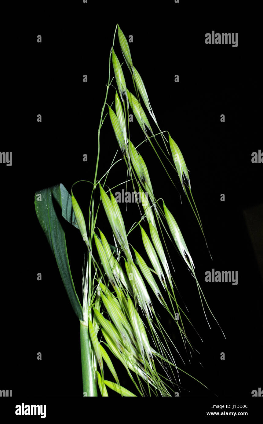 Wild oat (avena fatua) Stock Photo