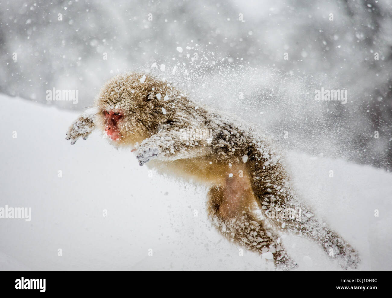 Japanese macaques jumping in the snow. Japan. Nagano. Jigokudani Monkey Park. An excellent illustration. - Stock Image