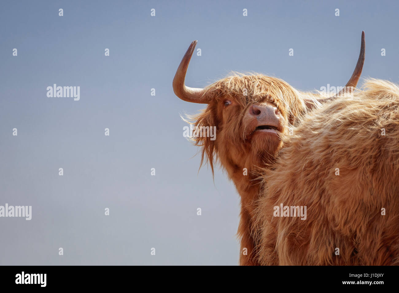Highland Cow, Highland Cattle, Hairy Moo Coo - Stock Image