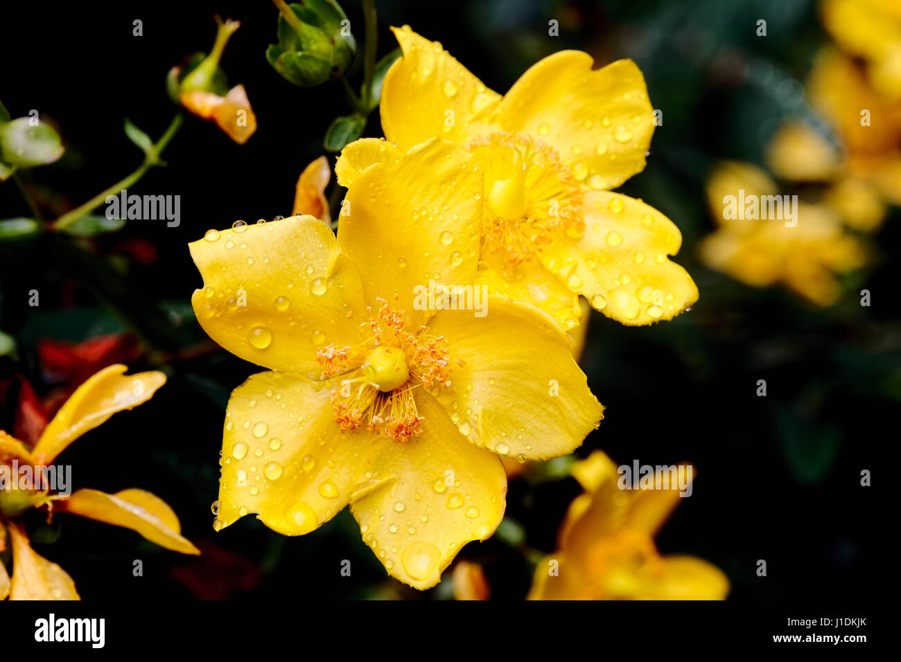 Close-up of two small yellow roses on a bush, the petals of them are covered in morning dew. - Stock Image