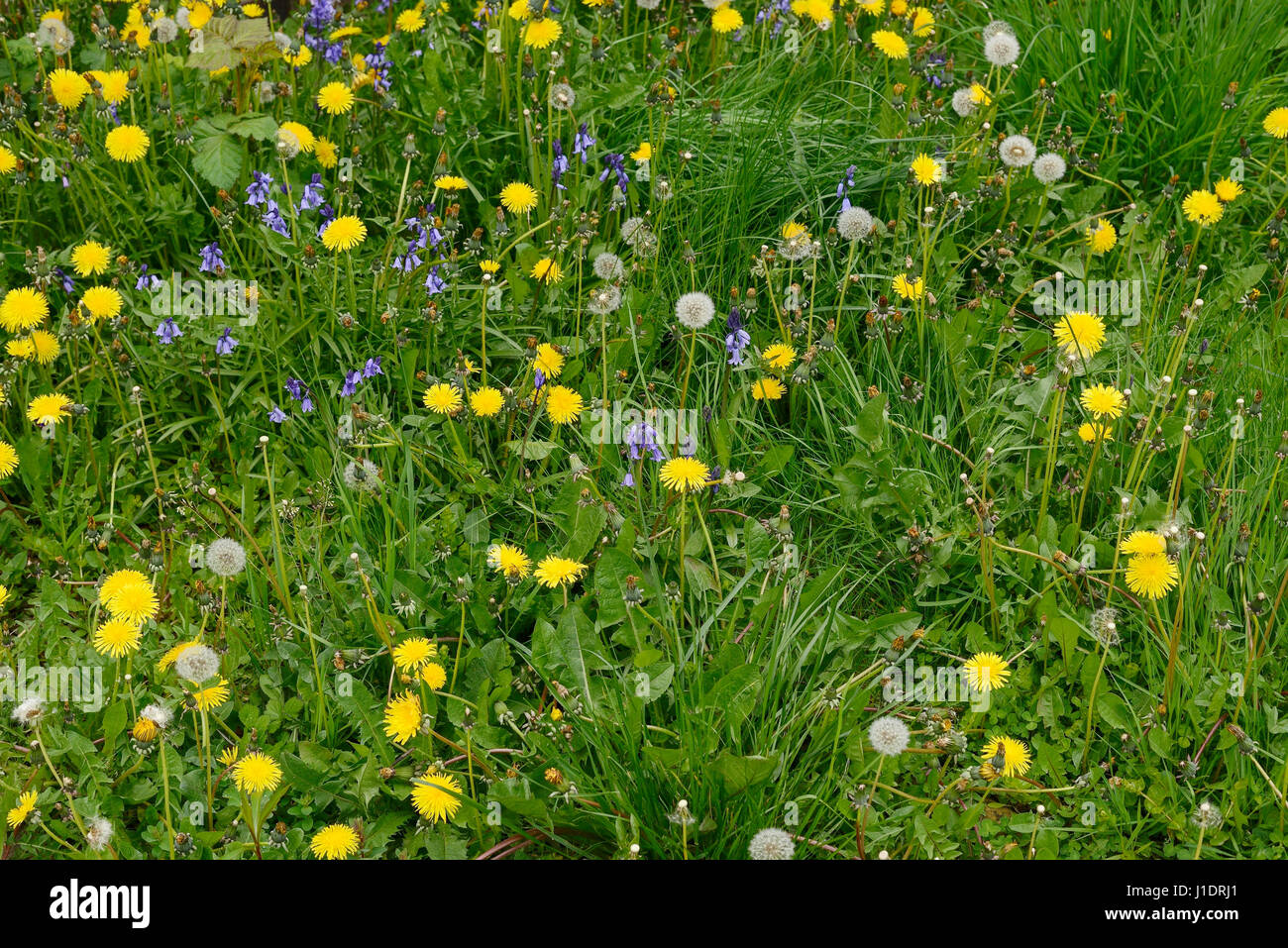 A front garden overgrown with grass, weeds and dandelions - Stock Image