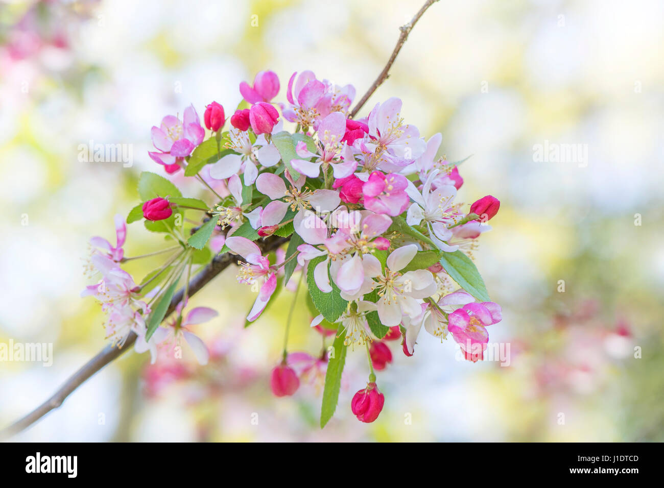 Close Up Image Of The Pretty Spring Blossom Pink And White Flowers