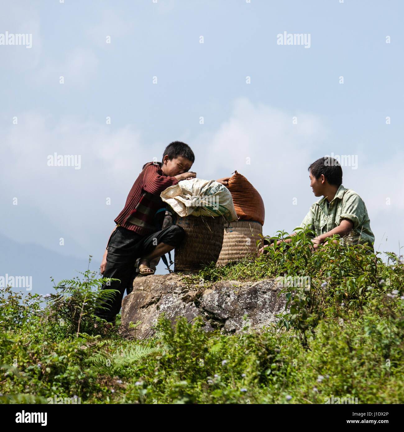 Young farmers struggle in the heat carrying heavy sacks of rice across the paddy fields. Sa Pa (Sapa), northern - Stock Image