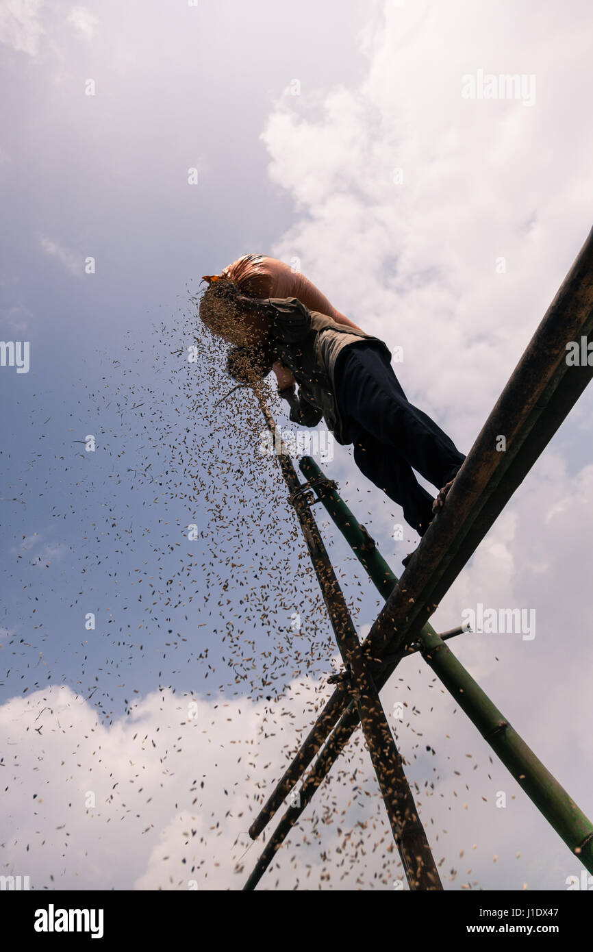 A farmer uses traditional farming methods. The rice is poured from height and the empty grains are blown away in - Stock Image